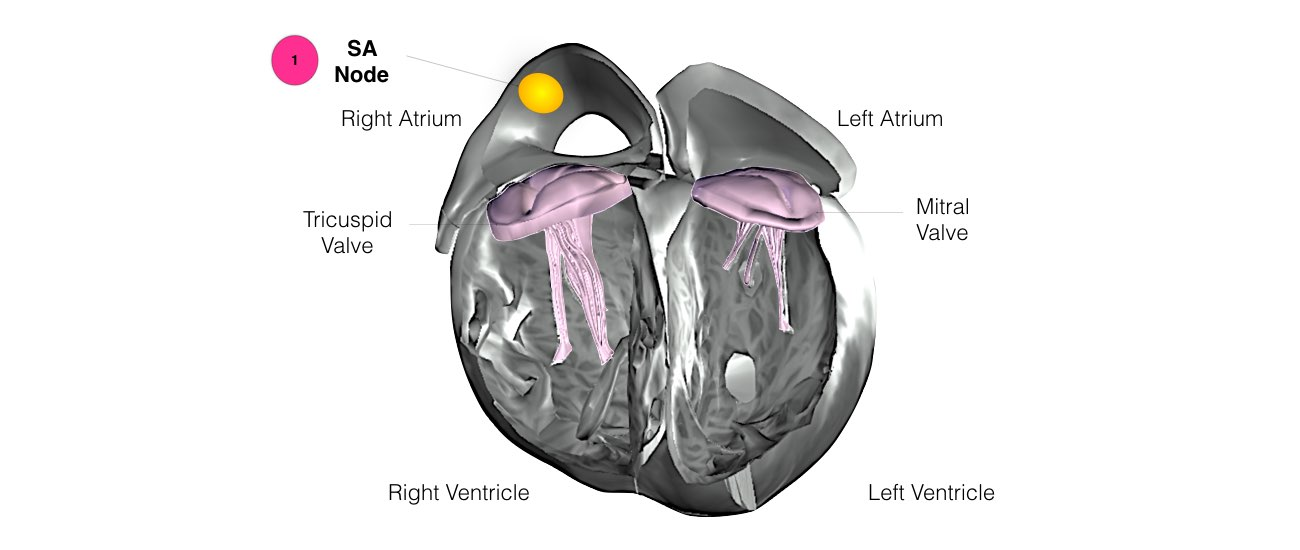 Normal Heart Function example 2